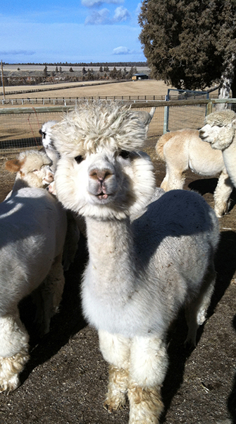 One of hundreds of alpacas at Crescent Moon Ranch.