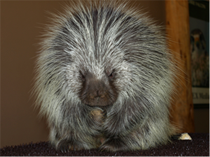 Porcupines are one of many critters you'll get to meet at the High Desert Museum.