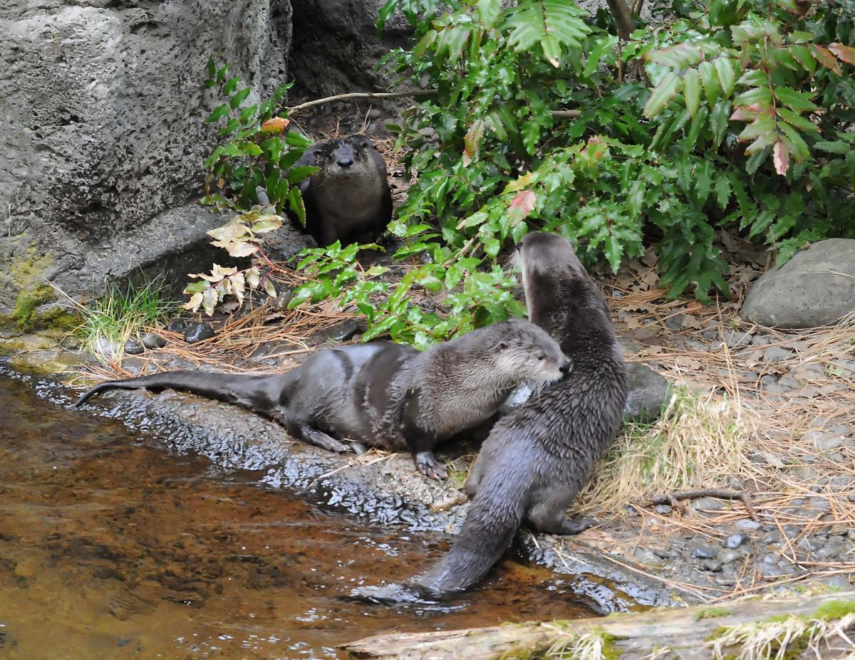 The otters are always a highlight at the High Desert Museum.