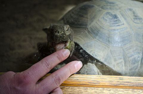 A tortoise at the High Desert Museum tries to taste Tawna's finger through the glass.