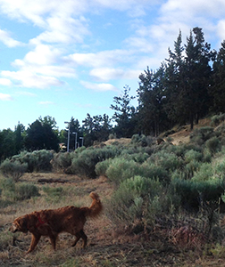 Dogs love the smell of juniper and desert sage, too.