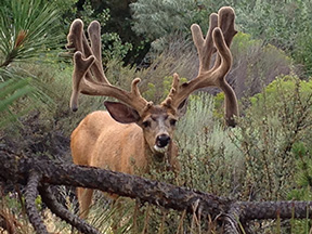 Visit Bend Facebook fan Jerry Hannon captured this photo of a rather impressive buck outside his dentist's office in Bend.