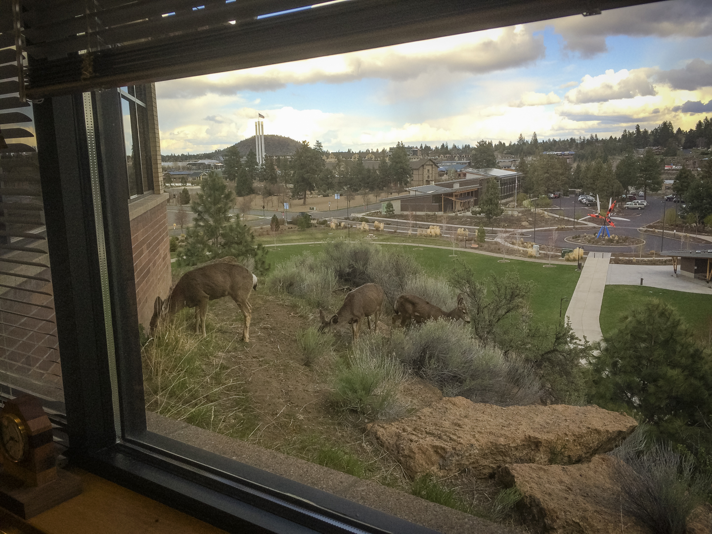 Urban deer in Bend, Oregon