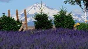 cascade-lavender-farm-960