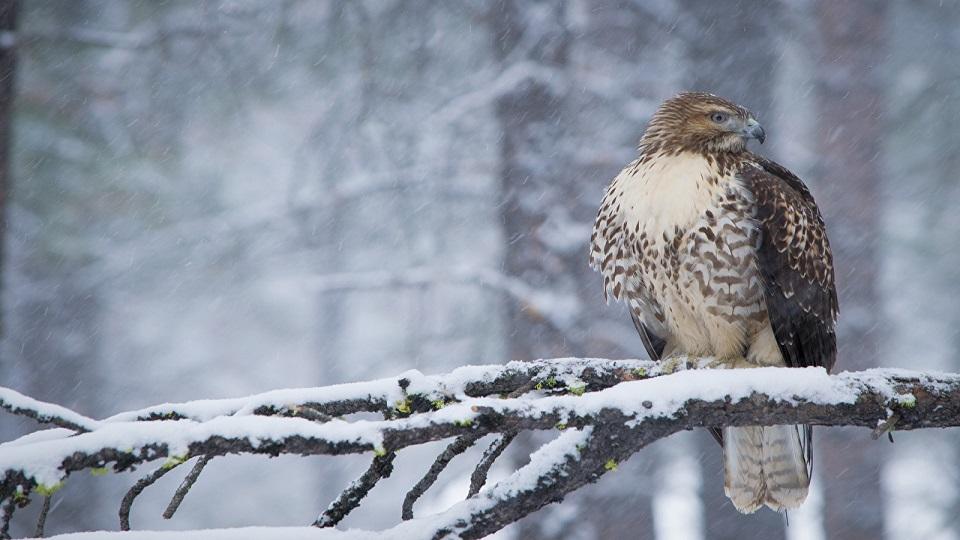 https://www.visitbend.com/wp-content/uploads/2018/12/Winter-Raptor.jpg