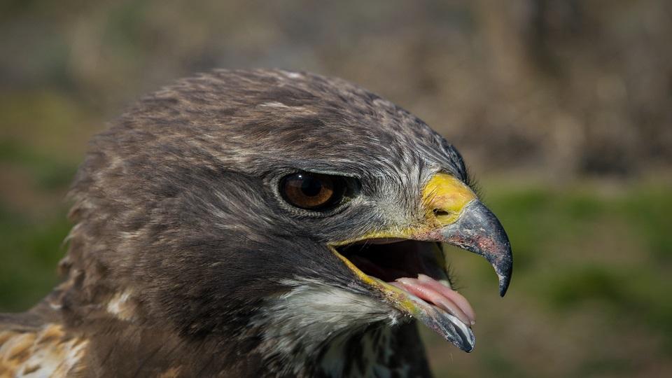 https://www.visitbend.com/wp-content/uploads/2019/02/HDM-Swainsons-Hawk-960.jpg.jpg